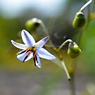 Dianella  by Peter Krause