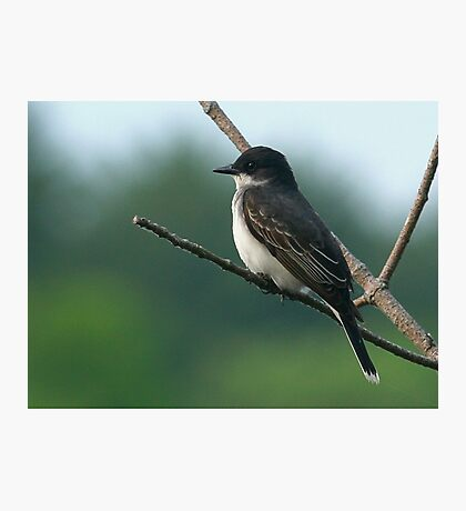 Eastern Kingbird Photographic Print