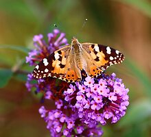 Painted Lady Butterfly (Vanessa cardui) by Rumyana Whitcher