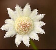Actinotus minor .. The Lesser Flannel Flower   by Michael Matthews
