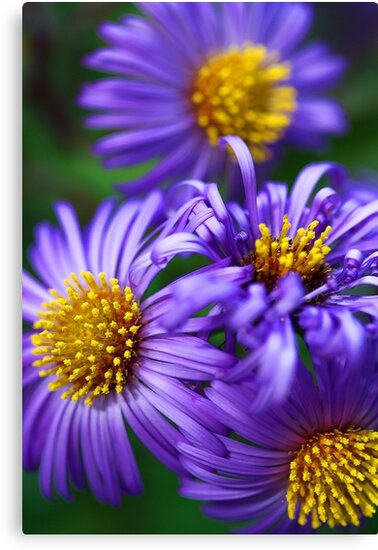 Wild & Beautiful Fall Aster by T.J. Martin