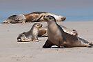 Sea Lions by Werner Padarin