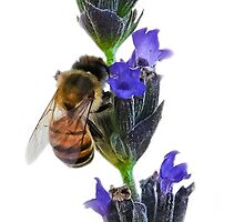 Bee on the Lavender by Heather Friedman