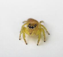 Jumping Spider portrait by JayWolfImages