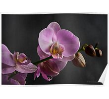 Pink orchid on black background Poster