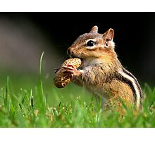 Chipmunk enjoying a snack Photographic Print