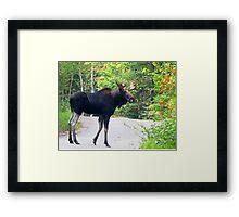 Maine Bull Moose on the road Framed Print