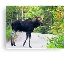 Maine Bull Moose on the road Canvas Print