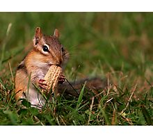 Chipmunk enjoying lunch Photographic Print