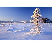 Snow covered trees in north Sweden Photographic Print
