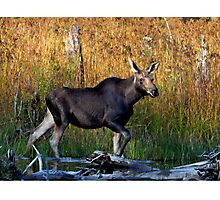 Maine Moose, yearling bull Photographic Print