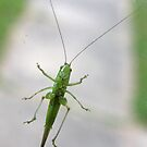 Katydid at the Window by Daniel Owens