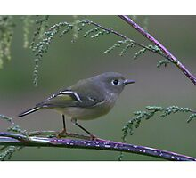 Ruby Crowned Kinglet on a branch Photographic Print