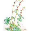 Saxifraga cernua watercolor botanical art by Sarah Trett