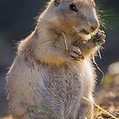 Prairie Dog by Ellesscee