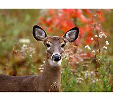 Maine White-tailed deer Photographic Print