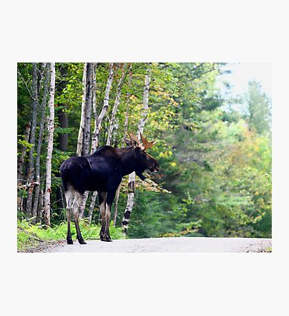 Maine bull Moose by the birches Photographic Print