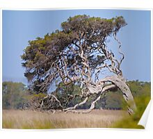 Windblown tree, Victoria, Australia Poster