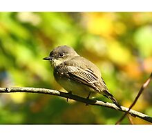 Eastern Phoebe  Photographic Print