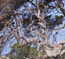 Windblown tree, Victoria, Australia Sticker