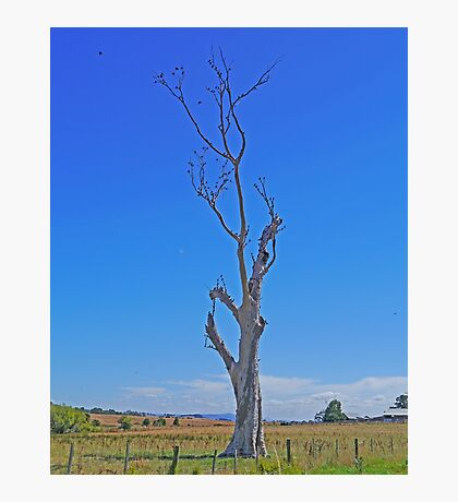 starling tree, Tasmania, Australia. Photographic Print