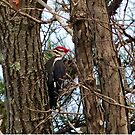 Male Pileated Woodpecker by Susan S. Kline