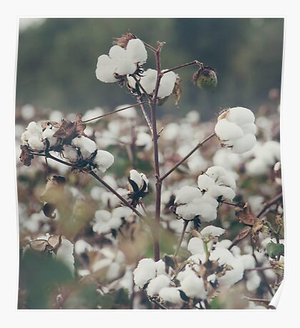 Cotton Field 8 Poster