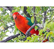 Australian King Parrot Photographic Print