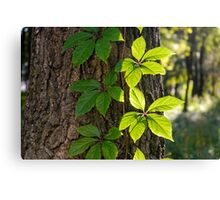 Creeper Leaves Under the Sun Canvas Print