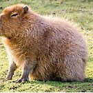 Capybara by JEZ22