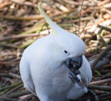 Sulphur-crested cockatoo loving his pine nuts! Sticker