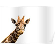 Giraffe head isolated on white background Poster