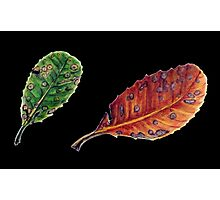 Banksia robur - two leaves Photographic Print