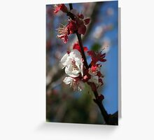Sunlight Embracing Apricot Blossom Greeting Card