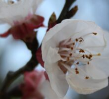 Close Up Apricot Blossom In Pastel Shades Sticker