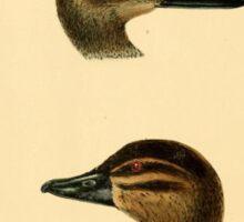 Illustration of a Duck | Vintage Naturalist Sticker