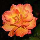 Old-Fashioned Peace Rose by MotherNature