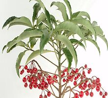 Spice Berry Coral Ardisia Evergreen Shrub by taiche