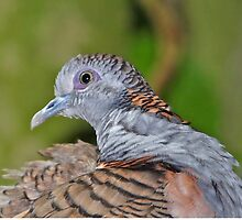 Bar-shouldered Dove by Robert Elliott