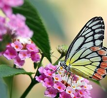 Common Jezebel Butterfly  by Vedangi  Shinde