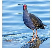 Purple Swamphen Photographic Print