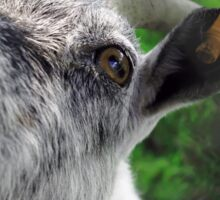 Funny, curious goat with orange earrings touching the camera. Blurred green background. Sticker