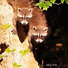 Baby Raccoons (Procyon lotor) by Jeff Ore