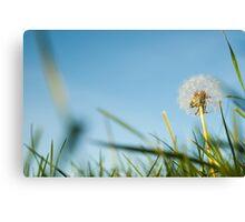 Dandelion in field. Canvas Print