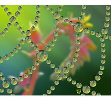 Echevaria Web Drops Photographic Print