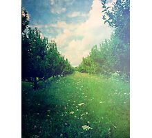 Apple Orchard in Spring Photographic Print