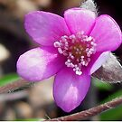 First Hepatica of the season  by ©The Creative  Minds