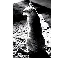 black&white singapura cat 1 Photographic Print