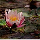 Water Lilly by rrushton