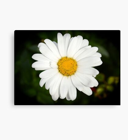 White gerbera daisy Canvas Print